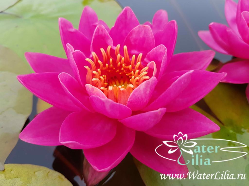 Купить нимфея Wow (купить кувшинку, водяную лилию Вау)