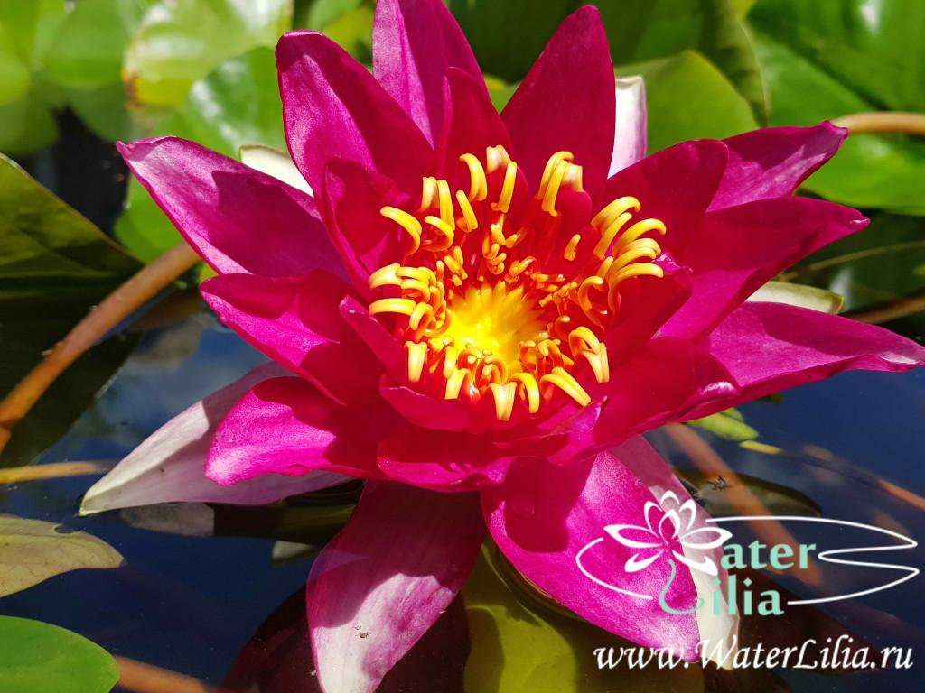 Купить нимфея Vesuve (купить кувшинку, водяную лилию Везувий)