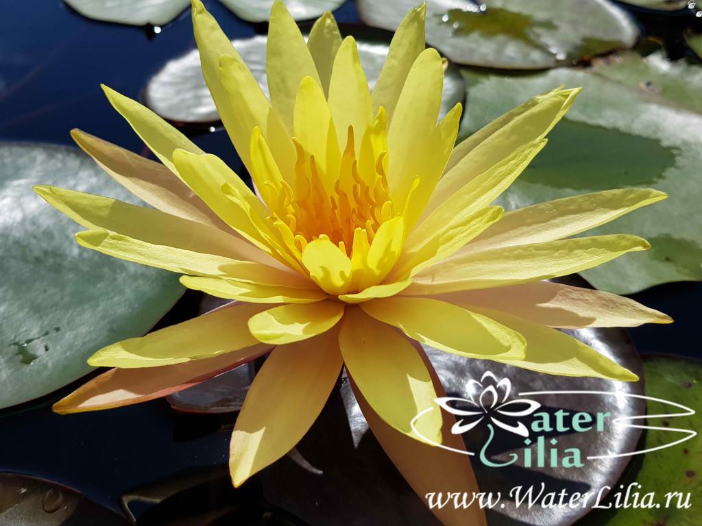 Купить нимфея Pinwaree (купить кувшинку, водяную лилию Пинвэир)