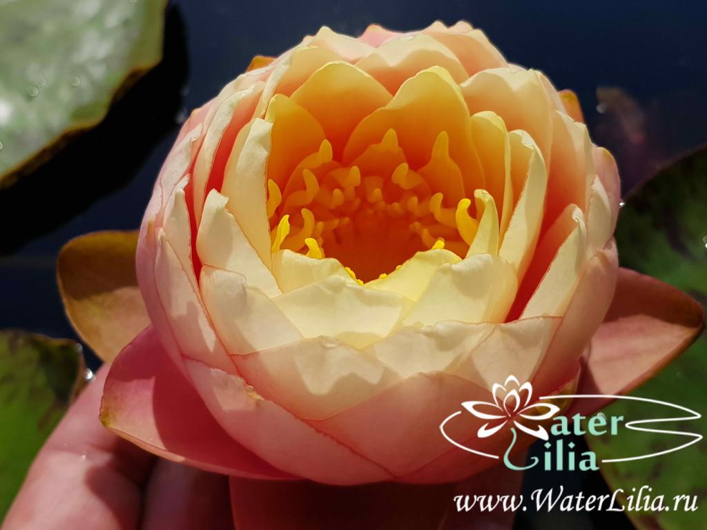 Купить нимфея Golden Goblet (купить кувшинку, водяную лилию Голден Гоблет)