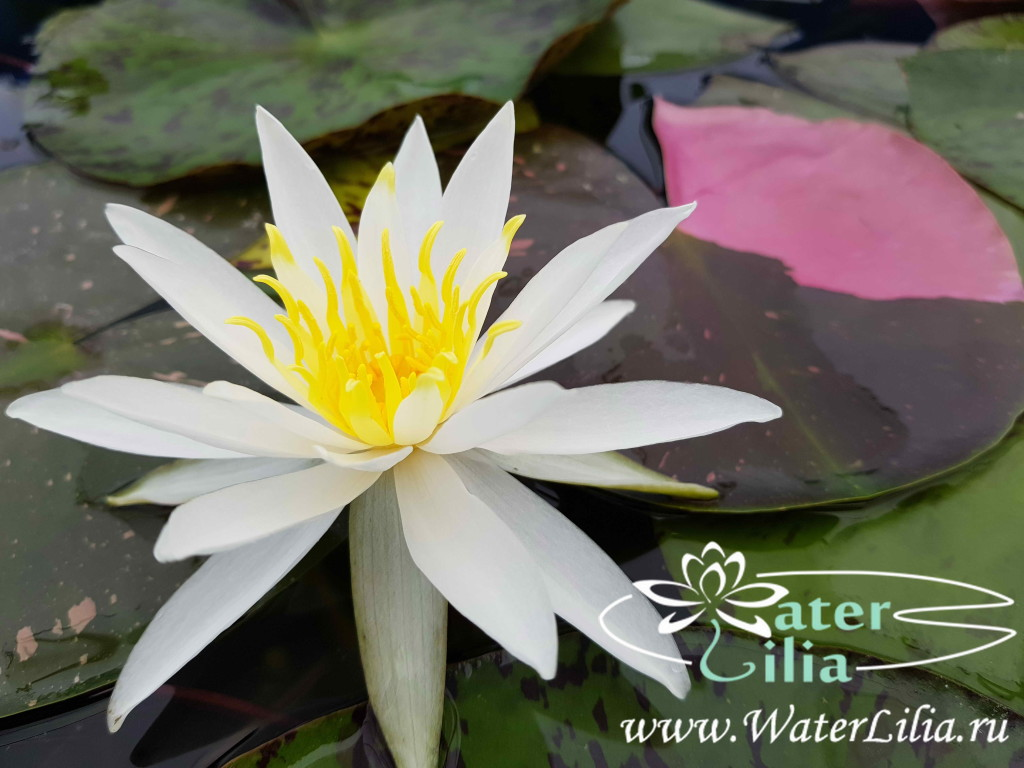 Купить нимфея Alma (купить кувшинку, водяную лилию Альма)