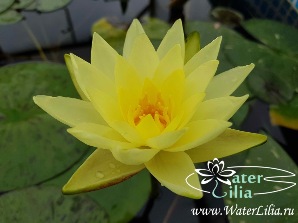 Купить нимфея Thongsup (купить кувшинку, водяную лилию Тонгзап)