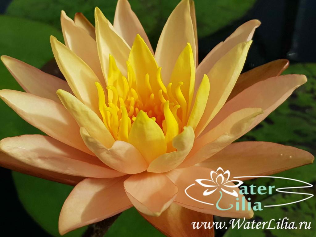 Купить нимфея Siam Sunset (купить кувшинку, водяную лилию Сиам Сансет)
