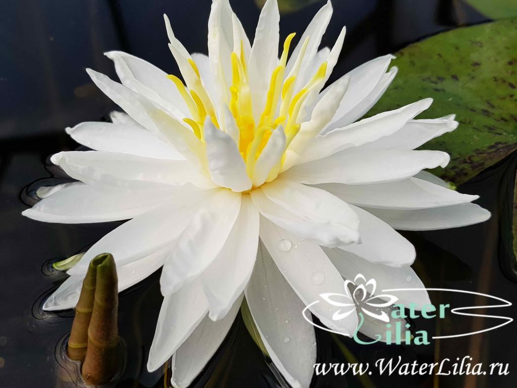 Купить нимфея Snowflake (купить кувшинку, водяную лилию Сноуфлэйк)