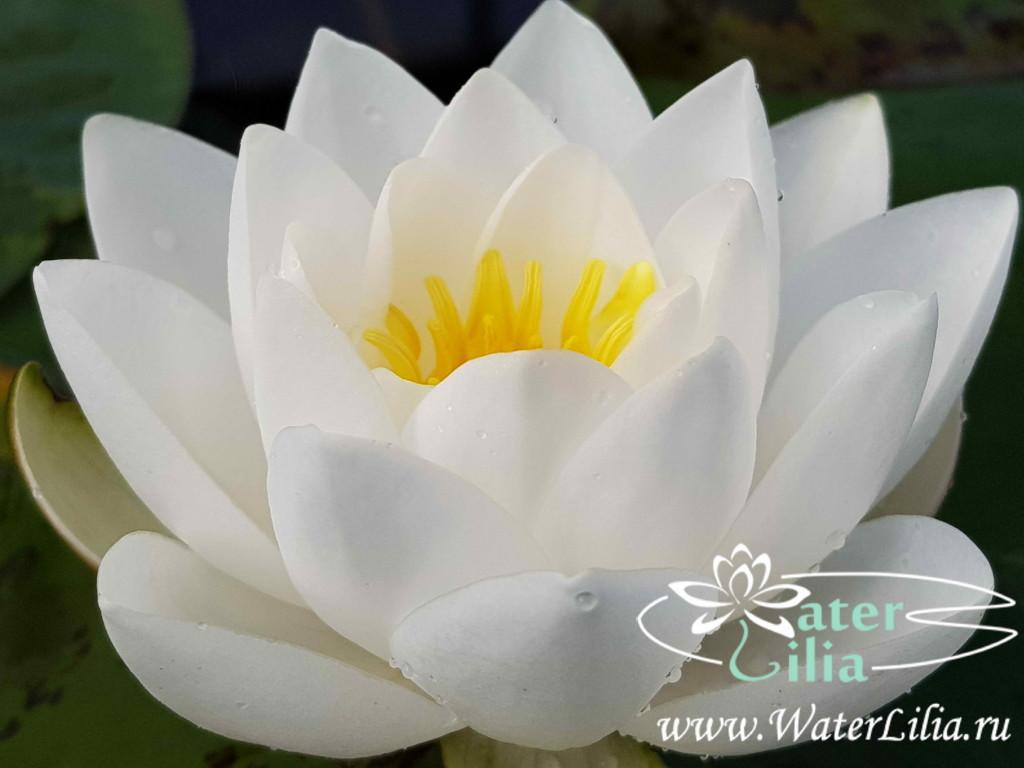 Купить нимфея Siam Jasmine (купить кувшинку, водяную лилию Сиам Жасмин)