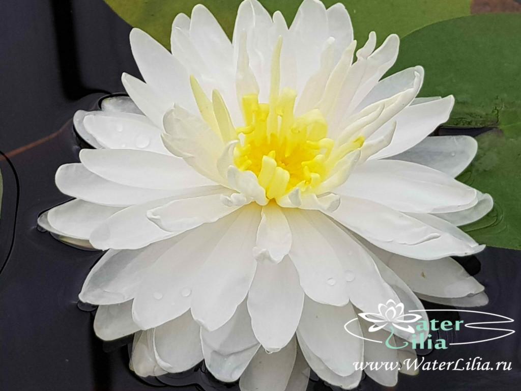 Купить нимфея White 1000 petals (купить кувшинку, водяную лилию Белая 1000 лепестков)