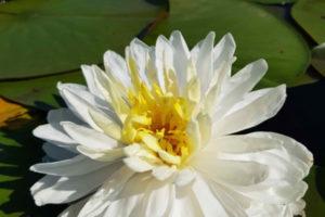 нимфея White 1000 petals