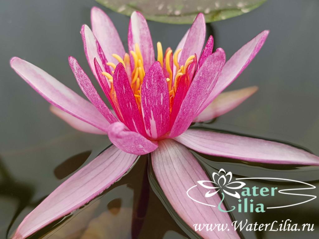Купить нимфея Pattern Ruby (купить кувшинку, водяную лилию Паттен Руби)