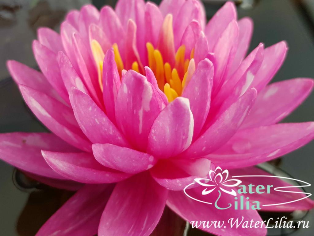 Купить нимфея Jakkaphong (купить кувшинку, водяную лилию Джаккафонг)