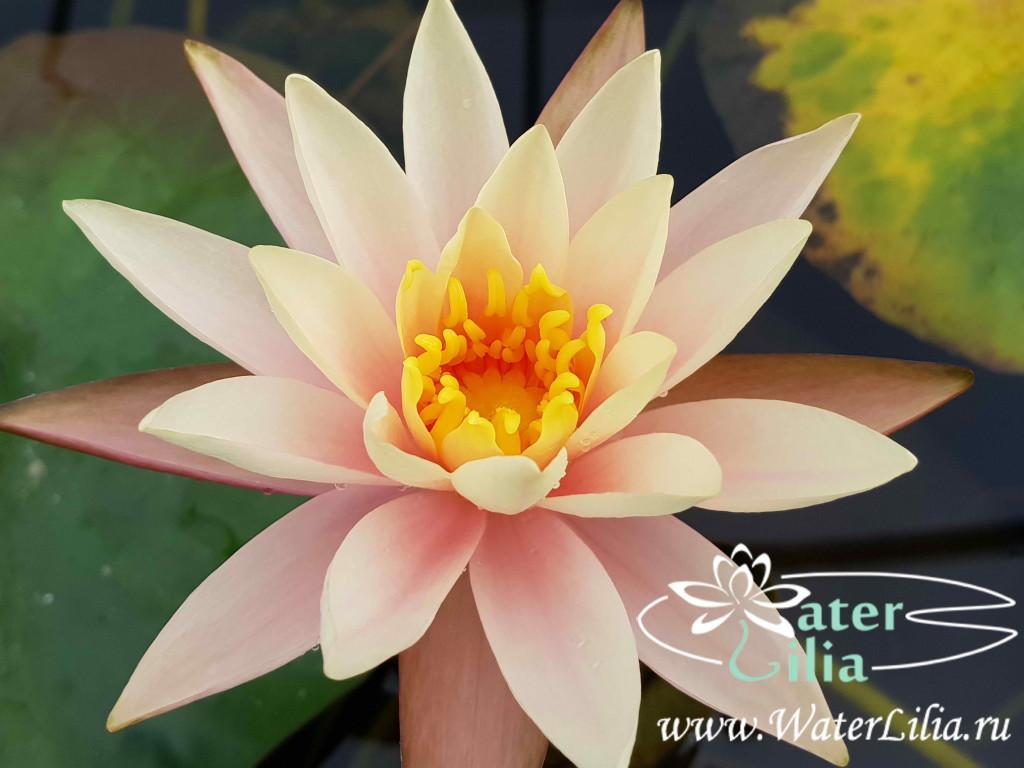Купить нимфея Cynthia Ann (купить кувшинку, водяную лилию Синтия Энн)