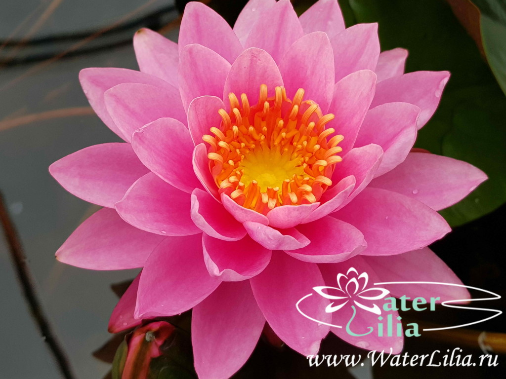 Купить нимфея Nouhime (купить кувшинку, водяную лилию Ноухиме)