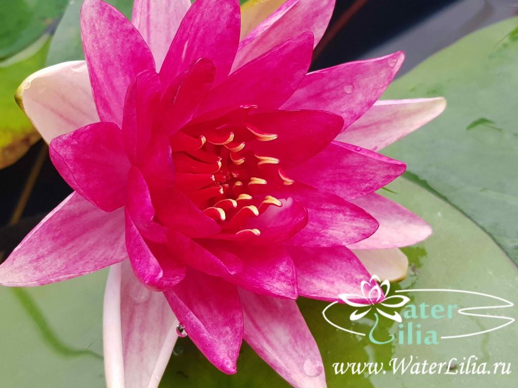 Купить нимфея Steven Strawn (купить кувшинку, водяную лилию Стивен Строун)