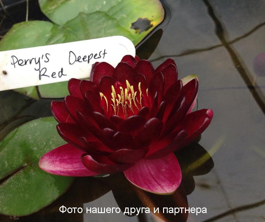 Купить нимфея Perry's Deepest Red (купить кувшинку, водяную лилию Перрис Дипест Рэд)