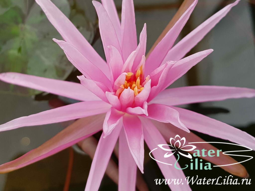 Купить нимфея Perry's Cactus Pink (купить кувшинку, водяную лилию Перрис Кактус Пинк)