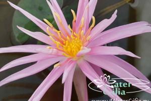 нимфея Perrys Cactus Pink