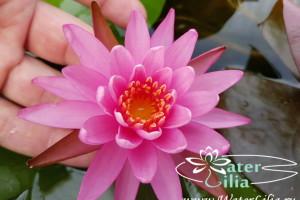 нимфея Viviparous Pink