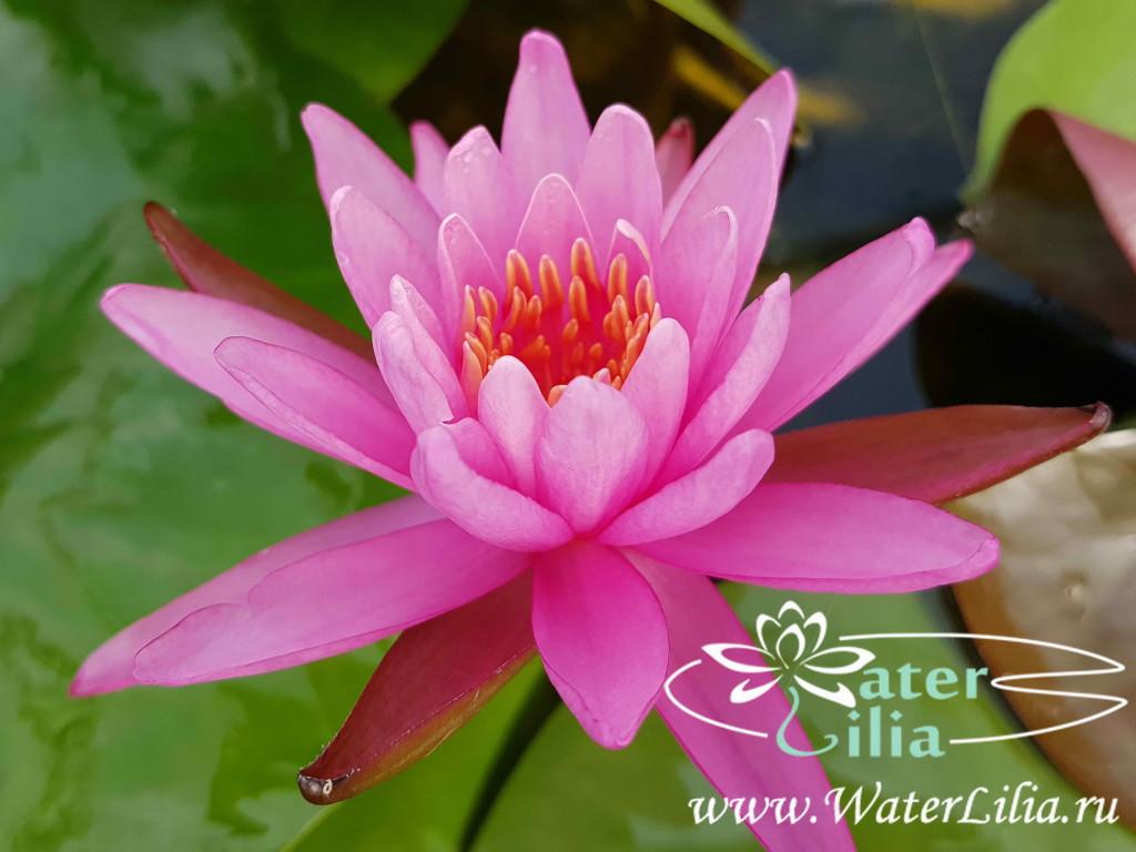 Купить нимфея Viviparous Pink (купить кувшинку, водяную лилию Вивипароус Пинк)