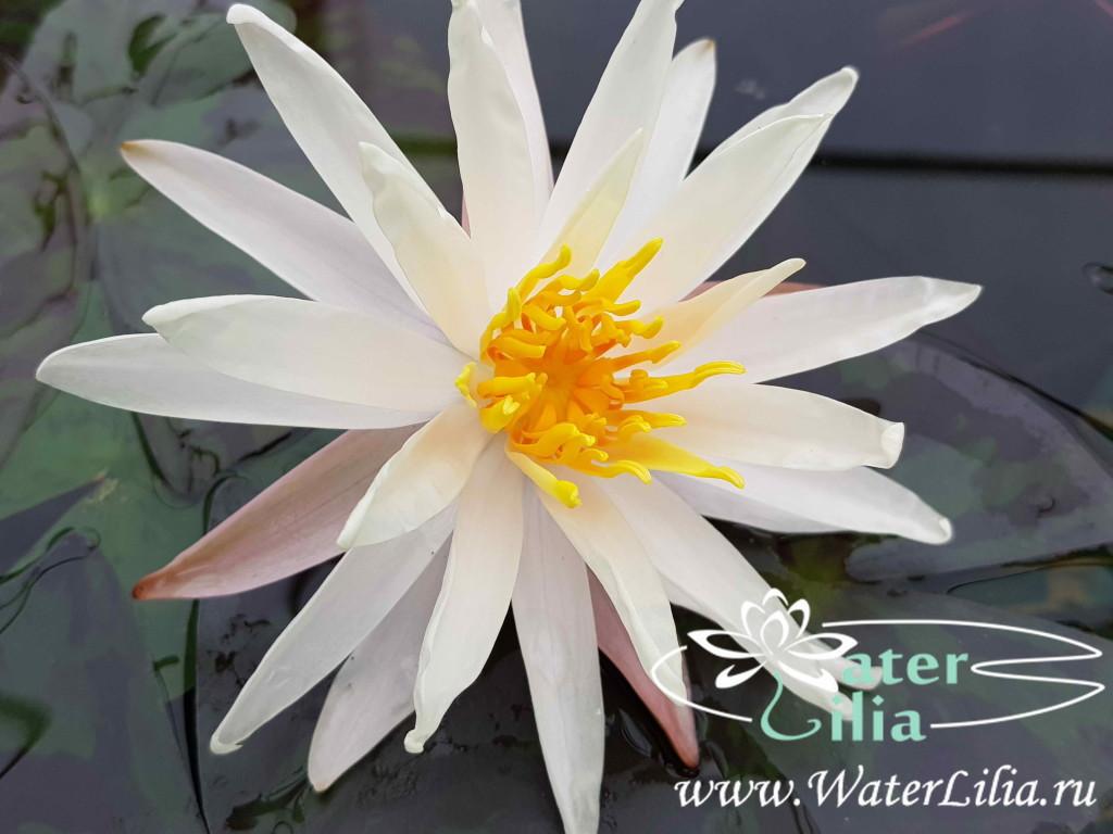 Купить нимфея Starbright (купить кувшинку, водяную лилию Старбрайт)