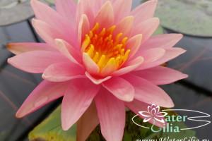 нимфея Lavalette Pink