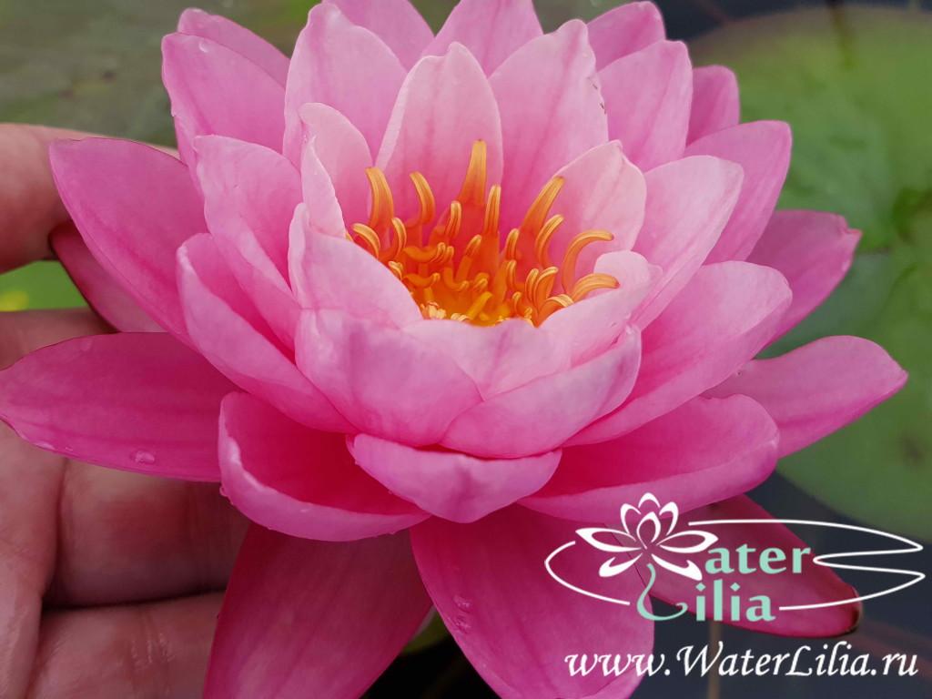 Купить нимфея Sweet Pea (купить кувшинку, водяную лилию Свит Пи)