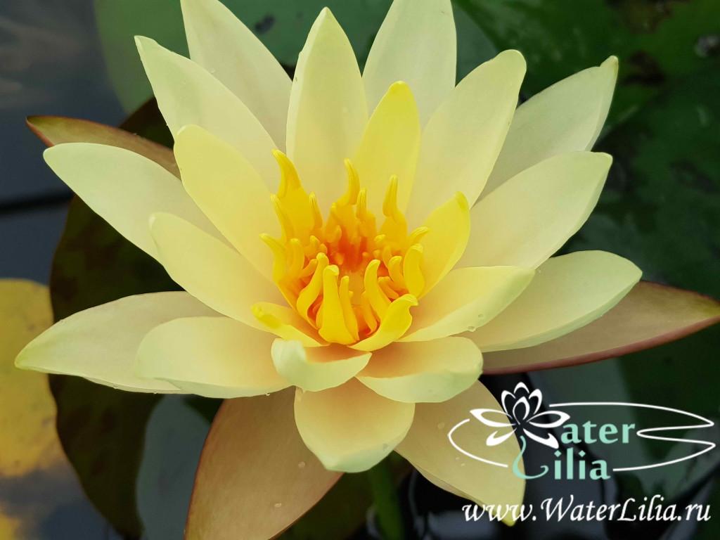 Купить нимфея Hawaiian Gold (купить кувшинку, водяную лилию Гавайское золото)