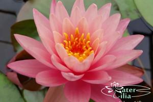кувшинка Lavalette Pink