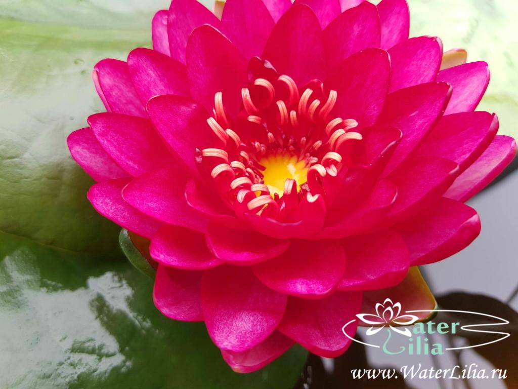 Купить нимфея Manee Red (купить кувшинку, водяную лилию Мани Рэд)