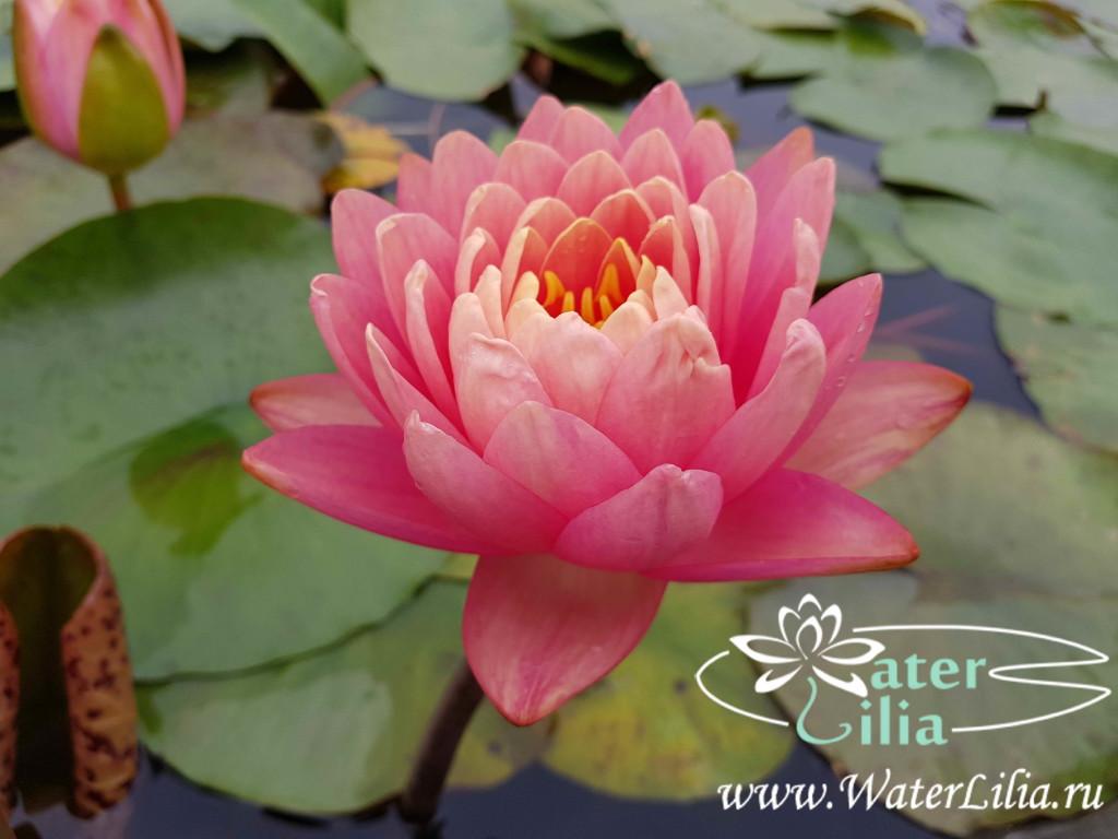 Купить нимфея Lavalette Pink (купить кувшинку, водяную лилию Лавалетте Пинк)