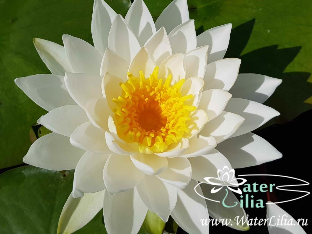 Купить нимфея Sarasvati (купить кувшинку, водяную лилию Сарасвати)