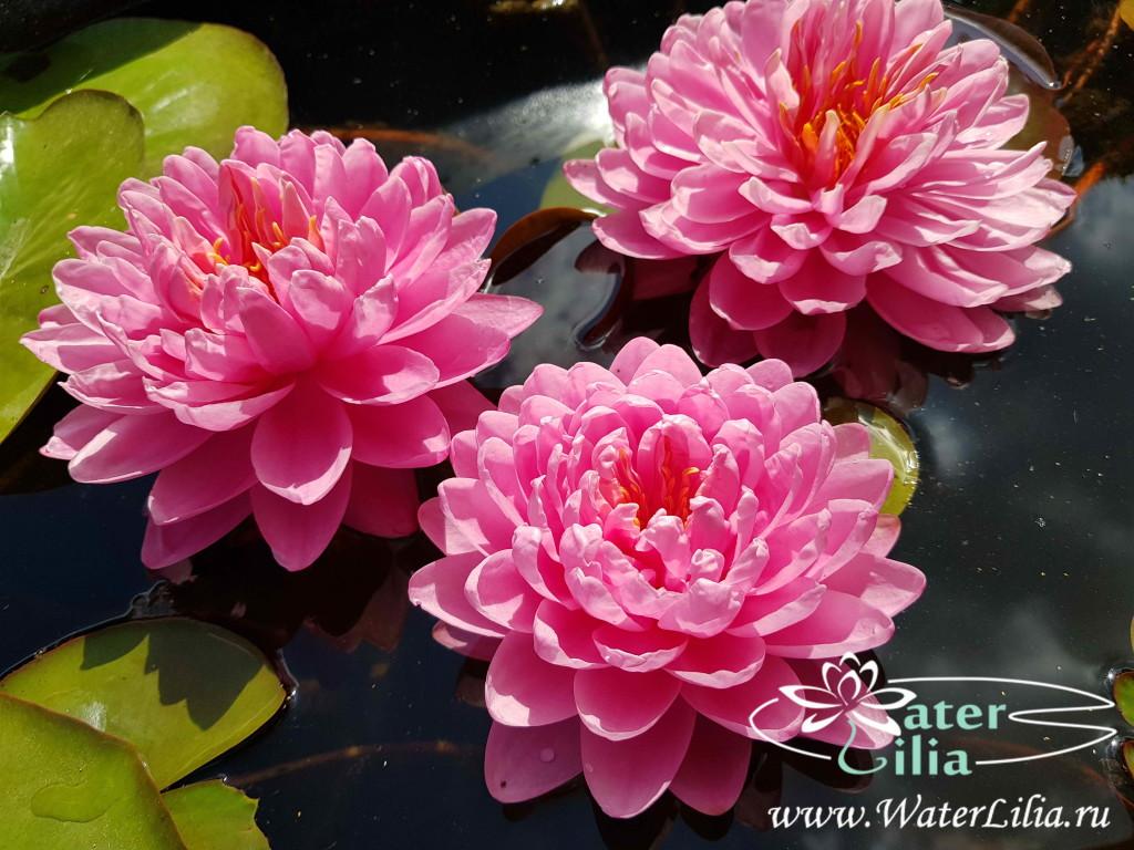 Купить нимфея April Peony (купить кувшинку, водяную лилию Эйприл Пеони)