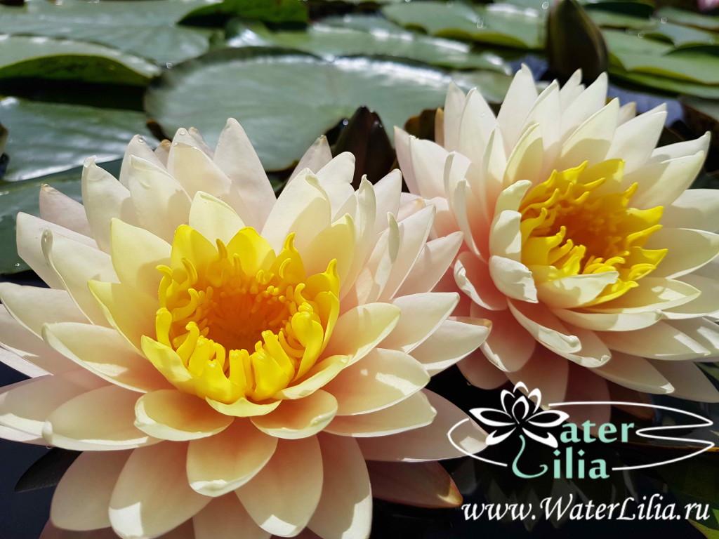 Водные растения для пруда. Какие нимфеи купить начинающим любителям загородных водоемов?