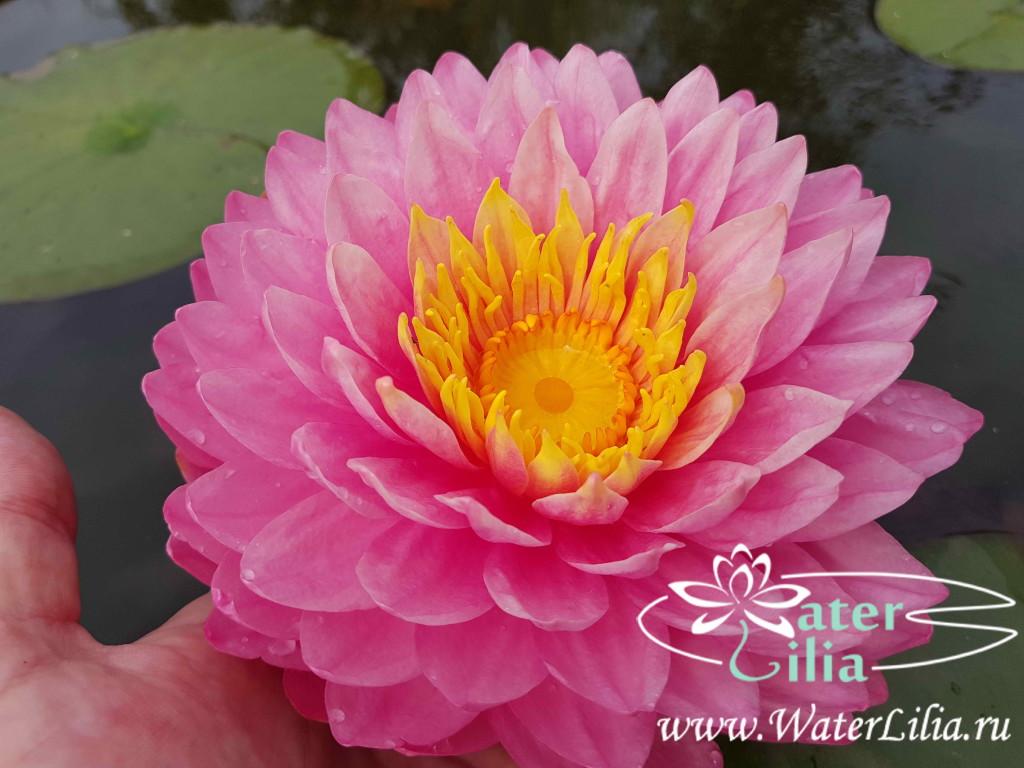 Купить нимфея Manickam (купить кувшинку, водяную лилию Маникам)