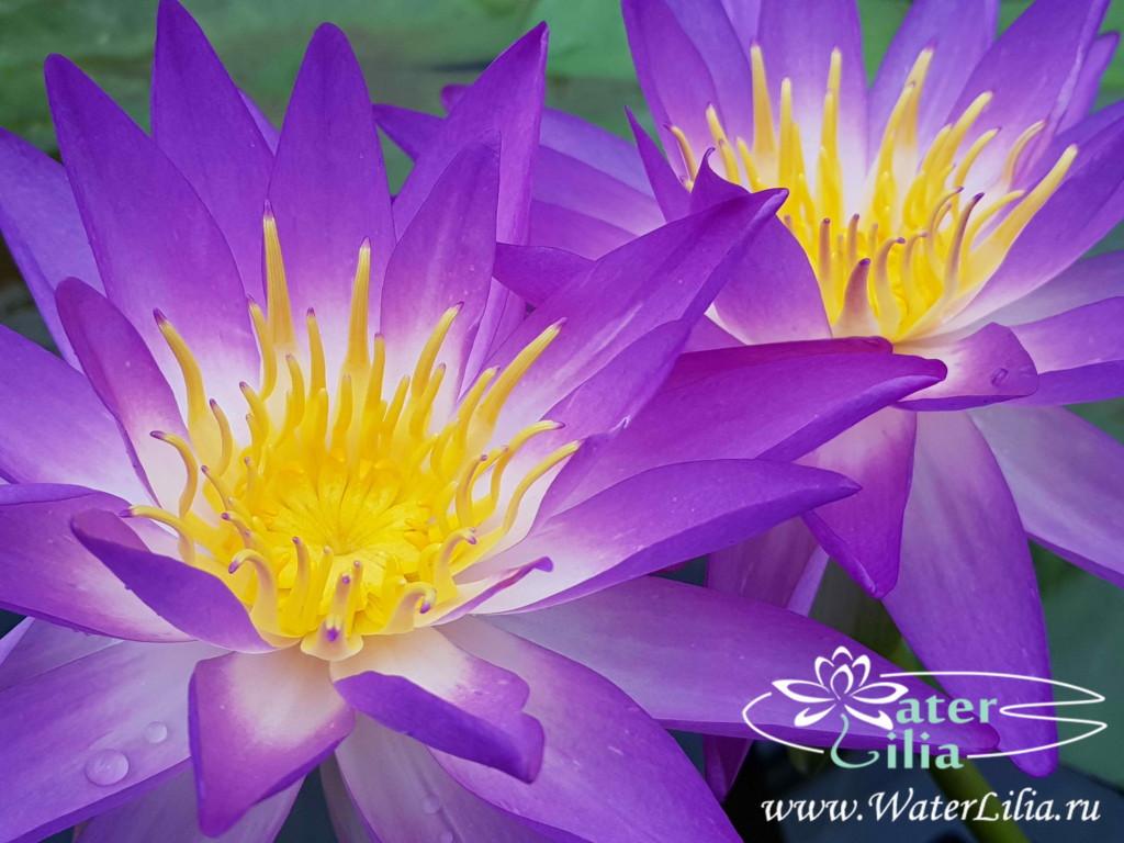 Купить нимфея Purple Lucent (купить кувшинку, водяную лилию Пурпл Люцент)
