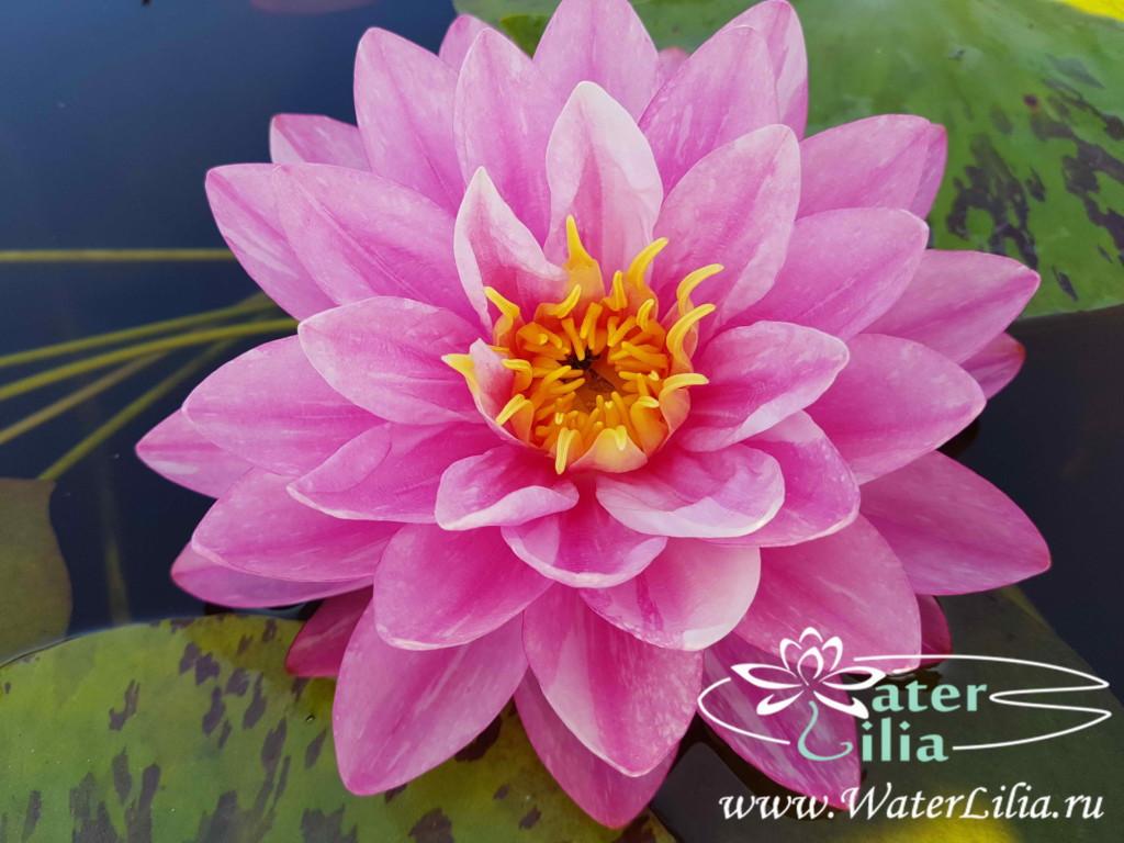 Купить нимфея WLK Intrigue (купить кувшинку, водяную лилию WLK Интрига)