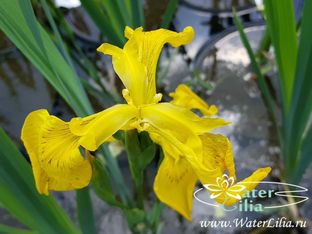 Купить ирис болотный (ирис желтый, ирис аировидный, ирис ложноаировидный), Iris pseudacorus