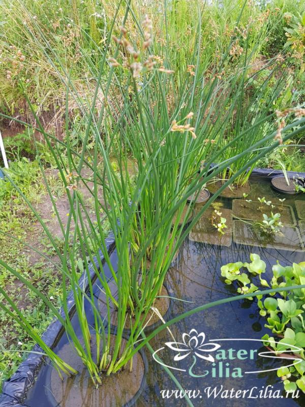 Купить Камыш озерный, Schoenoplectus lacustris