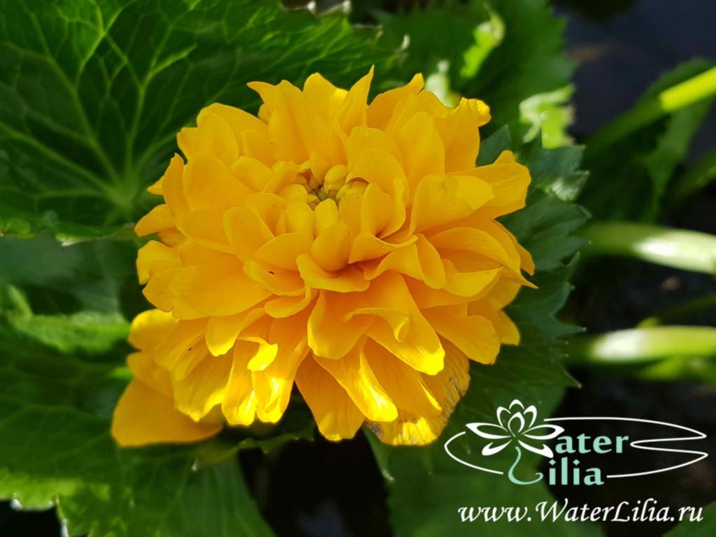 Купить калужница болотная Мультиплекс, Caltha palustris Multiplex