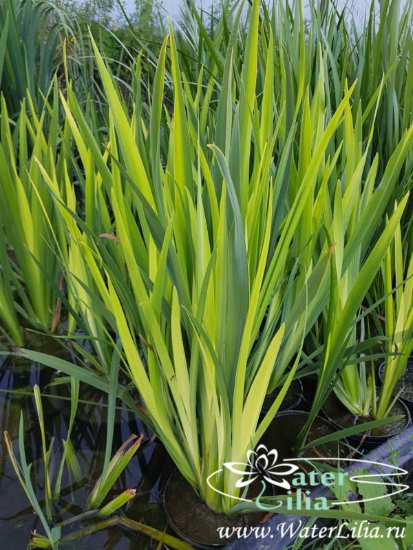 Купить ирис болотный вариегата (ирис желтый вариегата, ирис аировидный вариегата, ирис ложноаировидный вариегата), Iris pseudacorus Variegata