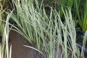 Аир болотный вариегата