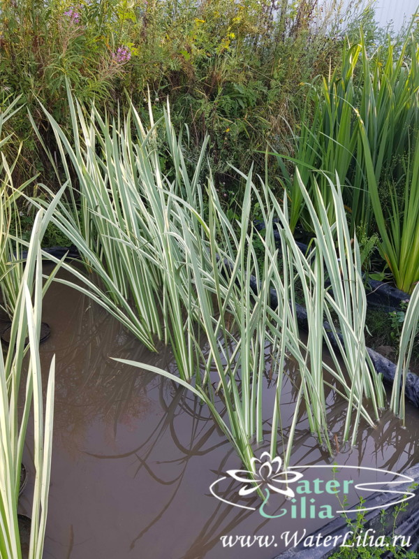 Купить Аир болотный вариегата, Acorus calamu Variegatus